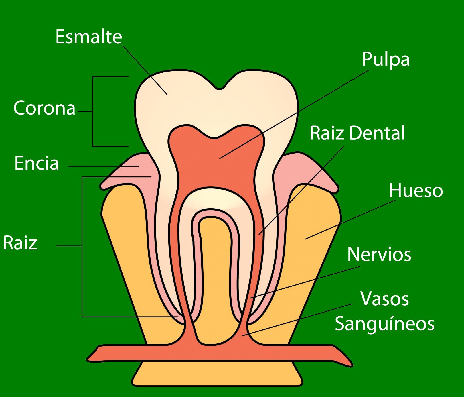 partes diente sensibilidad